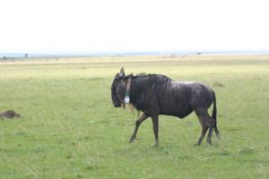 wildebeest-colaring
